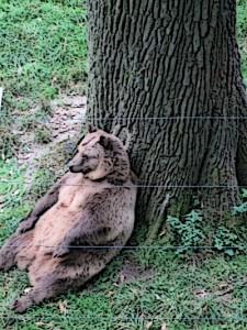 Der Chef-Bär vom Wisentgehege